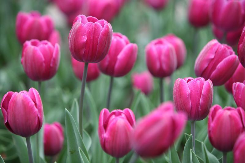 Tulips at Woodward Park Tulsa