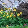 Wildflowers near Grinnell Glacier