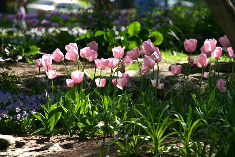 Tulips in bloom at Woodward Park