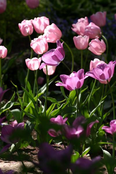 Translucent Tulip at Woodward Park Tulsa