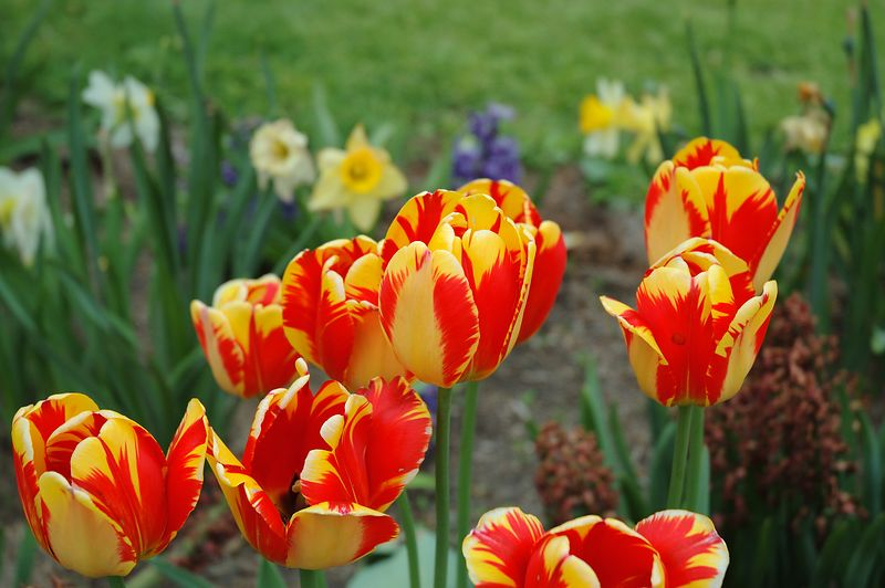 Tulips from the Public Garden in Boston.<br/> (Shot on a cloudy day)