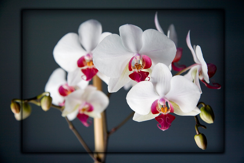 "From: Wikipedia<br /> ""Phalaenopsis (Blume 1825) is a genus of about 60 species of orchids (family Orchidaceae). The generic name means ""Phalaen[a]-like"" and is probably a reference to the genus Phalaena, the name given by Carolus Linnaeus to a group of large moths; the flowers of some species supposedly resemble moths in flight. For this reason, the species are sometimes called Moth orchids."""