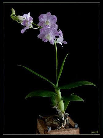 Dendrobium Orchid:  Dendrobium is a large genus with over 1600 species and many hybrid varieties.  The name Dendrobium originates from the Greek merging 'dendron'-tree- and 'bios' - life and refers to their epiphytic nature..living in trees.