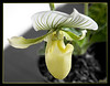 Paphiopedilum Alma Gavaert: Lady Slipper Orchid<br /> A humorous view of a 'lady slipper face'!!