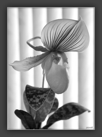 Paphiopedilum Alma Gavaert: Lady Slipper Orchid<br /> Backlit through verticals with the plant's own geometry makes a study in parallel lines.