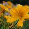 Lys-Flowers-Mariage_NM (01)