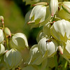 Yucca Flowers and Bee