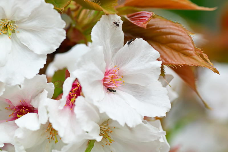 Blossom with Ants
