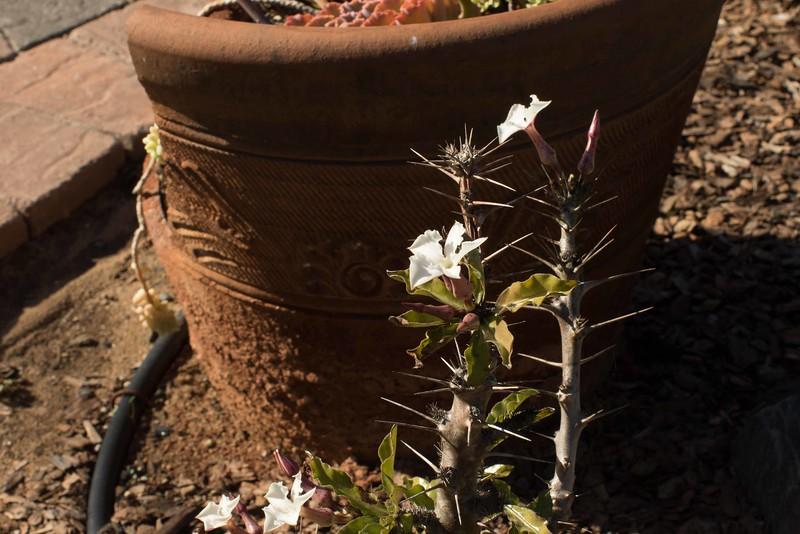 Pachypodium lealii in bloom 12/01/2016
