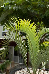 20110703-IMG_6233 Encephalartos cycad