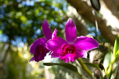 Laelia Pumila orchids, late autumn bloomers
