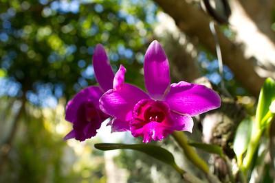 Laelia pumila orchid