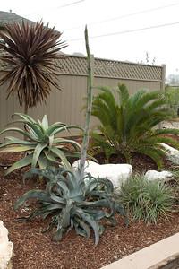 Wavy Agave with large flower stalk, Encephalartos longifolius, and Aloe behind it