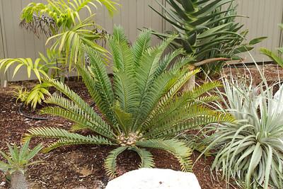 Encephalartos natalensis x horridus, surrounded by Dypsis pembana, Aloe hercules and Puya