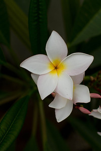 The lei flower... plumeria
