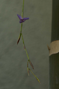 20130401-IMG_3749  Another shot of the Tillandsia inflorescence with an open flower.