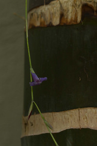 20130401-IMG_3748 Tillandsia blossom shot against the dark green trunk of a Hyophorbe Indica palm.  The blossoms are tiny, about 1/2 inch long.  Tillandsia's are an epiphyte, part of the bromeliad family.