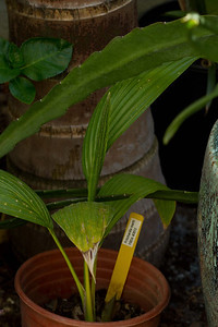 20130401-IMG_3755 Pritchardia Mardii palm.  Another small 1 gallon acquired at the March So Cal Palm Society Meeting auction.