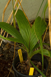 20130401-IMG_3754 Burretiokentia koghiensis 1 gallon palm acquired at the March So Cal Palm Society Meeting.  I have another one of these that started as a similar size, which has been in the ground for almost 2 years now and has performed well.  This palm is another native of New Caledonia.