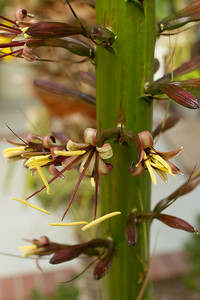 Individual flowers on the Agave Stricta inflorescence