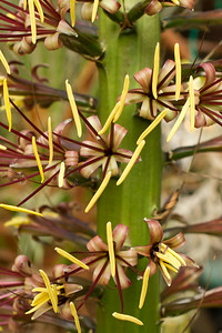Agave Stricta flower spike full of blooms