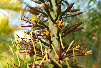 Agave Stricta blossoms opening