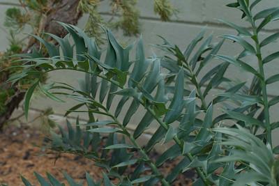 Encephalartos Arenarius