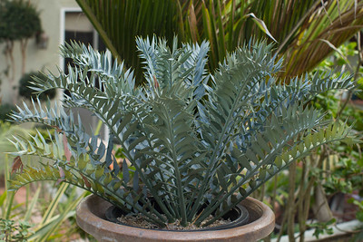 A South African Cape blue cycad.  Very blue and very twisted and spiny.  Who needs barb wire if you lined your yard with these?