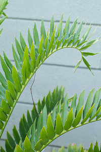 Encephalartos hybrid Horridus x Woodii