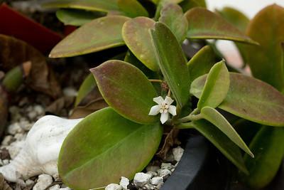 Hoya Fungii and blossom