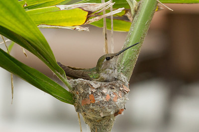 Anna's Humming bird nesting in Caryota No potted palm tree