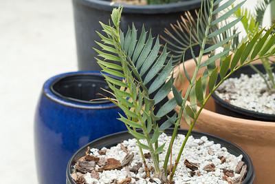 Encephalartos Horridus x Longifolius hybrid seedling