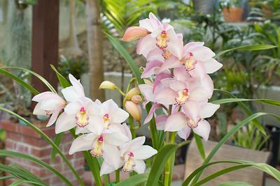 Cymbidium Orchids. 3/12/2014