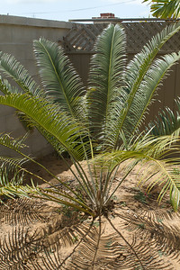 Lepidozamia Peroffskyanna with new flush