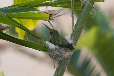 Anna's Humminng bird and nest in a potted Caryota No Palm, Carlsbad, CA