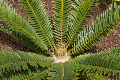 Encephalartos Natelensis x Horridus with a robust flush of leaves opening