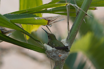 Anna's Humming bird and nest in a  Caryota No Palm tree in Carlsbad, CA