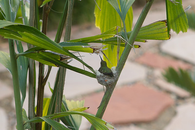 Anna's Humming bird nesting in Caryota No, potted palm in Carlsbad, CA