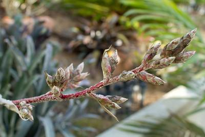 Bromeliad inflorescence on a Hohenbergia