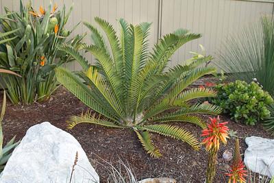 Encephalartos hybrid Nalalensis x Horridus