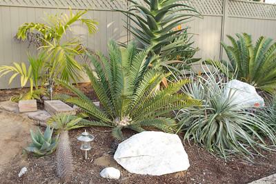 Encephalartos hybrid Natalensis x Horridus, with puya bromeliad adjacent and Hercules tree ale behind it.