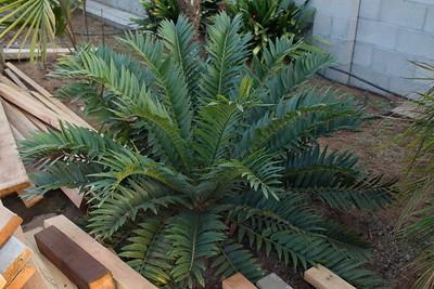 Encephalartos hybrid Arenarius x Woodii