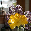 Daffodils against sea lavender and view out a kitchen window