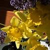 Daffodils with Sea Lavender 3/21/2015