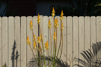 Aloe vanbalenii blossoms in light and shadow, and Ravena glauca palm seen in shadow only. 2/07/2015