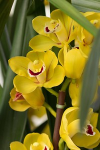 Cymbidium Orchid Blossoms, February 2015