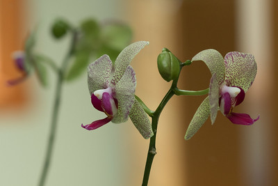 Phaleonopsis orhcid blooms and reflection in a mirror.