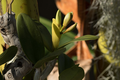 Cattleya intermedia coerulea buds close to opening.