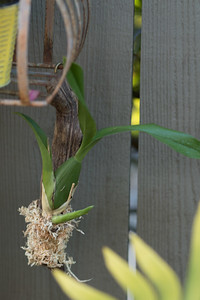 Freshly mounted cutting from an orchid, not sure which plant this came from until it blooms.  Possibly an Oncidium. 3/09/2015