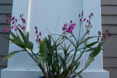 Dendrobium orchid loaded with spikes, each carrying multiple buds or flowers.
